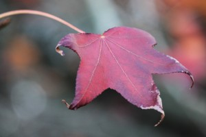 new zealand Liquidamber leaf (not to be confused with Maple, as it turns out..)